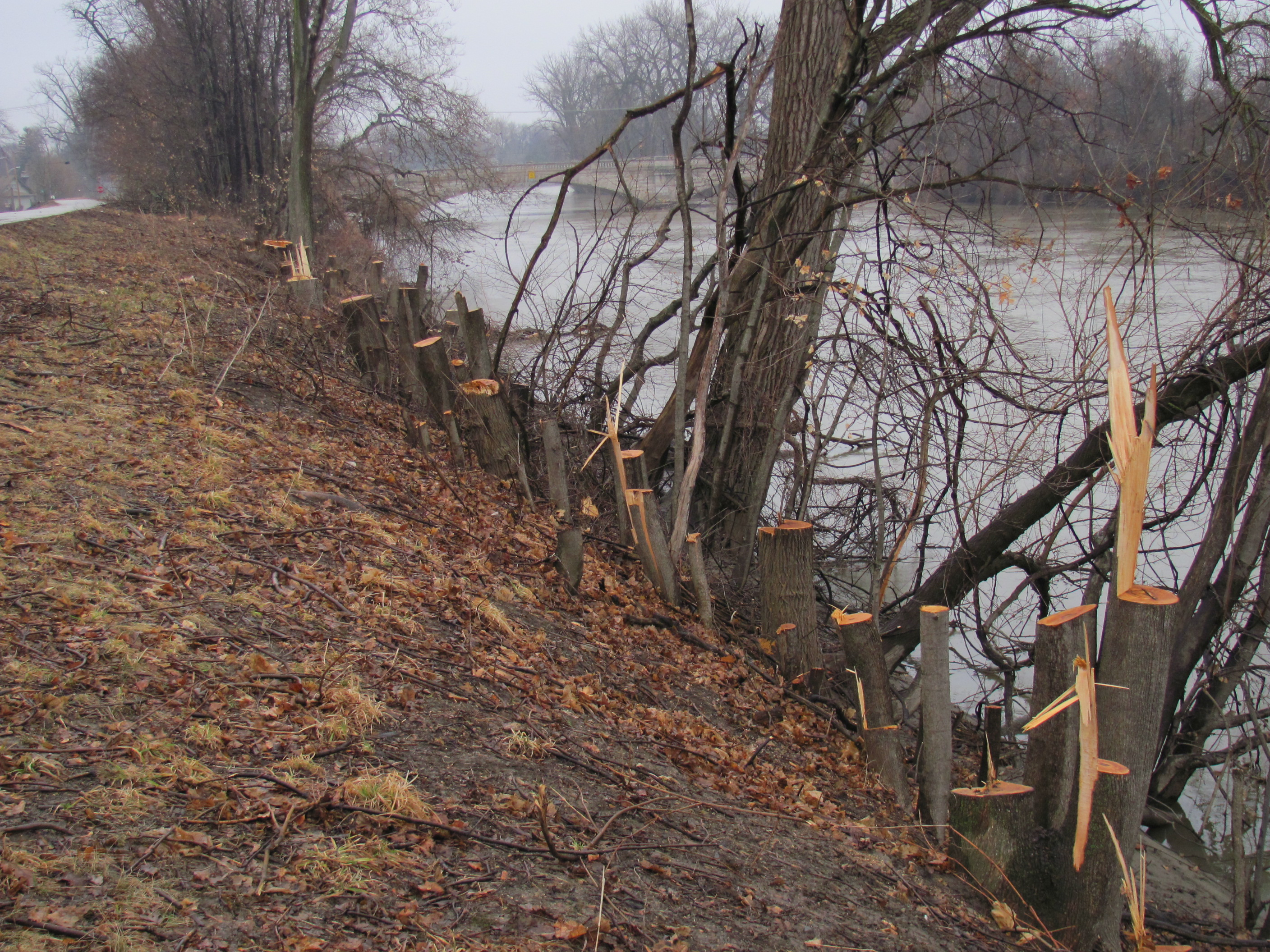 Edgewater DURING removal of vegetation 2011